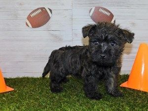 Dogs And Puppies For Sale Petland Knoxville Pet Store Tn In 2020 Puppies For Sale Dogs And Puppies Puppies