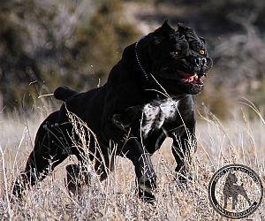 Cane Corso Breeder On Qualitydogs Com Cane Corso Cane Corso