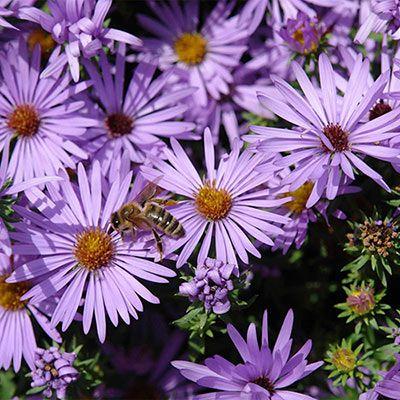 Raydon S Favorite Aster Native Perennials Spring Hill In 2020 Perennials Flower Blanket Spring Hill Nursery