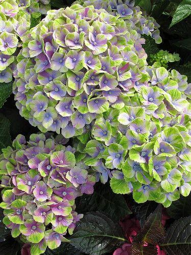 Hydrangea Ii Susan Rushton Flickr Hydrangea Care Planting Hydrangeas Hydrangea Garden