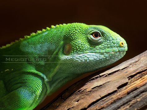 17 Best Fiji Banded Iguana Endangered Images On Pinterest