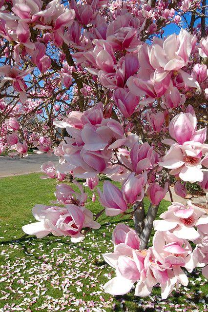 Spring In 2021 Magnolia Flower Flowering Trees Flora Flowers