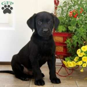 Black Labrador Retriever Puppies For Sale Greenfield Puppies Labrador Retriever Labrador Retriever Puppies Black Labrador Retriever