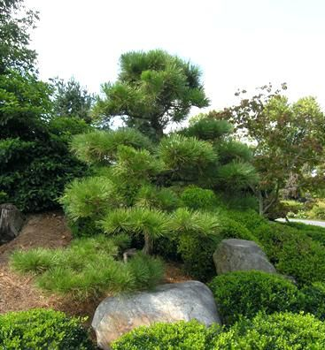 Ornamental Pines Landscape And Gardens Ornamental Pine Trees Years Of Pruning On Site Black Pine P Black Pine Tree Japanese Black Pine Tree Japanese Black Pine