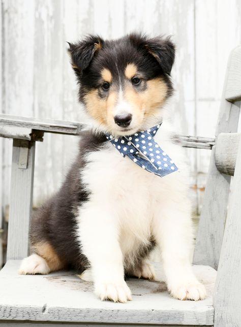 Precious Collie Collie Puppies Dog Breeder Lancaster Puppies