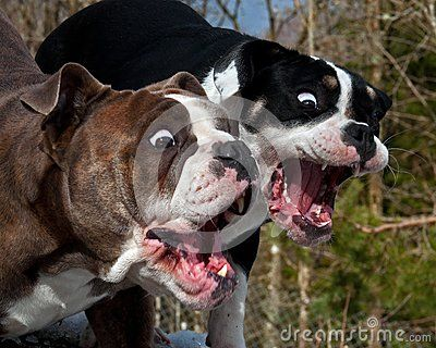 Two Bulldog With Open Mouth And A Fun And Surprised Expression