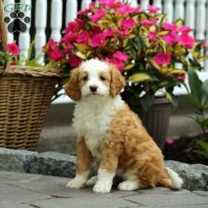 Mini Bernedoodle Puppies For Sale Greenfield Puppies Mini