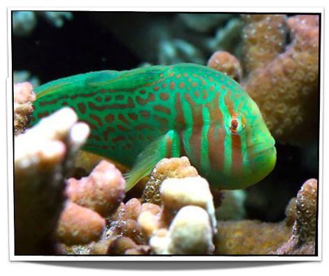 Green Clown Goby Saltwater Fish Tanks Marine Fish Tanks Marine Fish