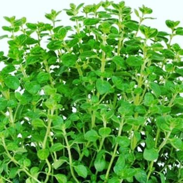 10over10 Info Herbs Marjoram Taste Flavors Marjoram Is Only One Variety Of Over Fifty Types Of Oregano Marjor Herbs Eggs And Mushrooms English Cuisine