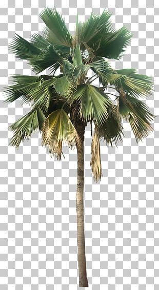 Washingtonia Robusta Washingtonia Filifera Pritchardia Pacifica Arecaceae Transparent Palm Tree Great Looking Desert Pl Palm Tree Png Desert Plants Palm Trees