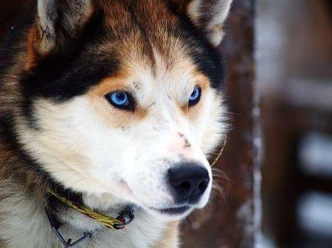 German Shepherd-Siberian Husky Mix.. Love the eyes!