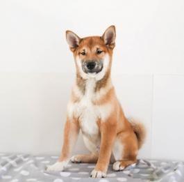 Shiba Inu Puppies For Sale Shiba Inu Puppy Shiba Inu Puppies