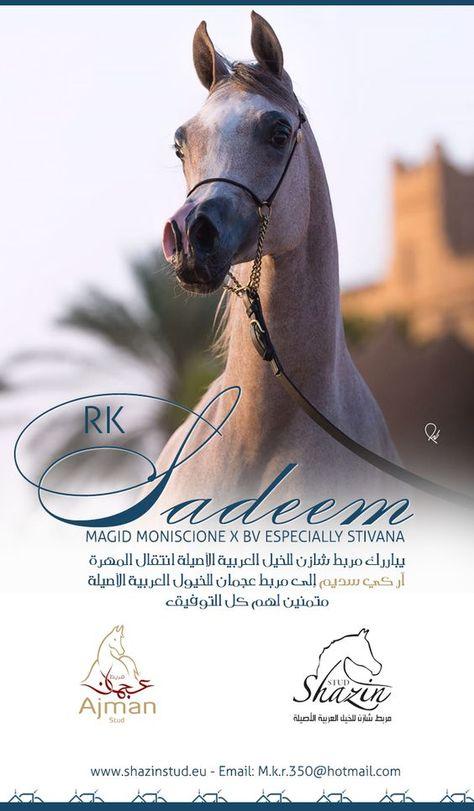 آر كي سديم إلى مربط عجمان Rk Nebula Para Ajman Stud Horses Arabian Horse Equines