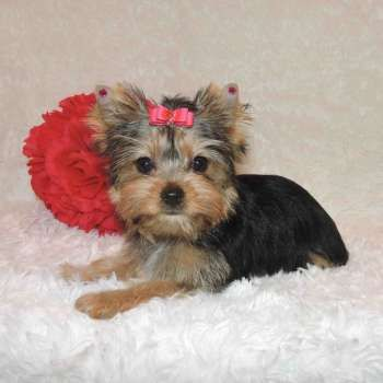 Yorkie Puppies Sale Teacup Yorkies Parti Chocolate Golden Yorkshire Terriers Yorkie Puppy For Sale Yorkie Puppy Teacup Yorkie Puppy