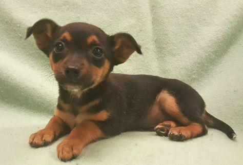 Miniature Pinscher Dog For Adoption In Modesto Ca Adn 441010 On