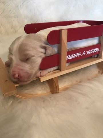Litter of 9 Goldendoodle puppies for sale in KINGSPORT, TN