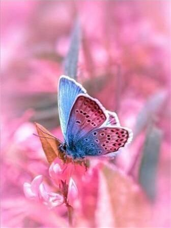 Pink and Blue Butterfly - Paint By Numbers Kit - 16x20/40x50cm - No Frame