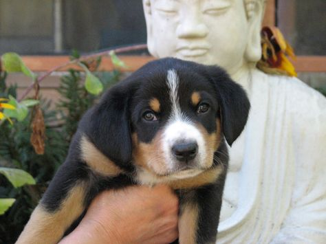 A New Entlebucher Sennenhund Pup At Six Weeks Dogs Pup Doggy