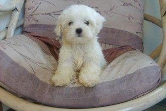 Morkie Puppies Morkie Puppies Teacup Puppies Maltese Maltese Puppy