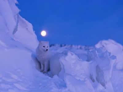 An Arctic fox under a full moon on a February morning Photographic Print at AllPosters.com