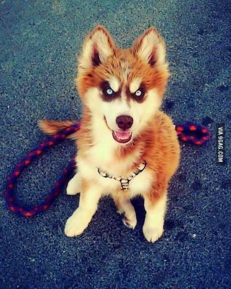 Pin By Audra Stage On Siberian Husky And Alaskan Malamute Dog