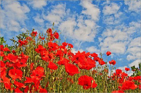 Mohntag Poster Von Pirmin Nohr Blau Blume Himmel Landschaft Mohn Rot Weiss Weiss Wiese Wolke Blue Red Flower Flora Sky Landscape Pa Mit Bildern Bilder Leinwandbilder