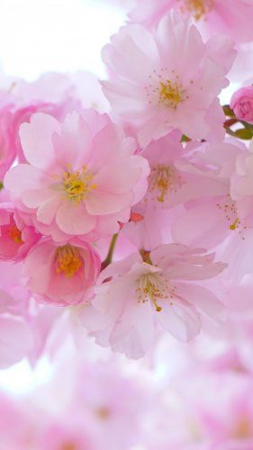 Cherry Blossom Tablet Wallpaper Tablet Wallpaper Cute Love Wallpapers Beautiful Flowers