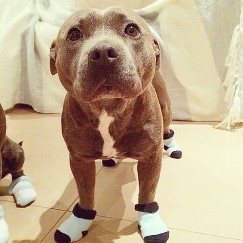 Pit Bull Puppies Pitbull Lovers: The 20 Most Adorable Pit Bull Puppy Pictures Ever 2018 2019 Cute Puppies, Cute Dogs, Dogs And Puppies, Doggies, Chihuahua Dogs, Pitbull Terrier, Terrier Mix, Cute Funny Animals, Cute Baby Animals