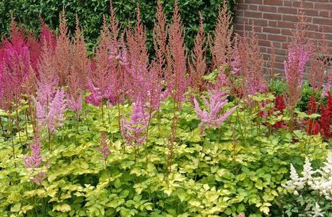 Friday S Plant Of The Day Astilbe Color Flash Lime Astilbe Spirea Plant Astilbe Arendsii