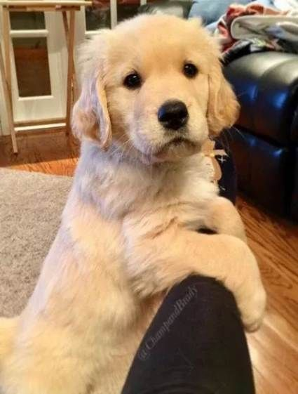 Golden Retrievers Together Golden Retrievers Together Golden Retriever Zusammen Golden Retrievers Ensemble Golden Ret In 2020 With Images Funny Cats And Dogs Puppies Dogs
