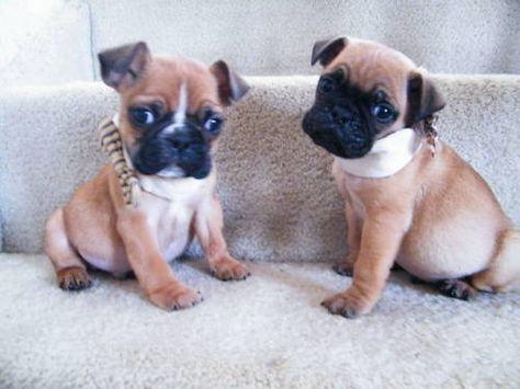 English Pug Super Cute Dogs Fluffy Animals Pug Mixed Breeds