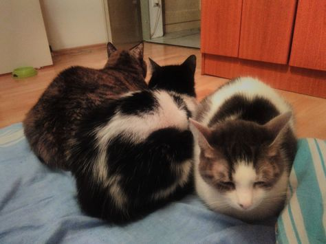 displeased with the new second cat loaf catloaf pinterest cat