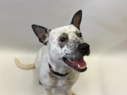 Adopt Heidi On Petfinder Cattle Dogs Mix Dog Adoption Cattle Dog