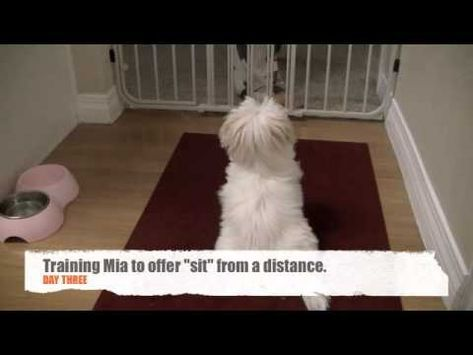 Maltese Puppy Dog Training For Confinement Crate Training