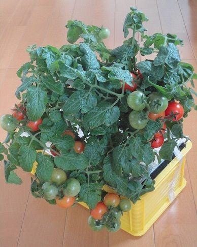 水耕栽培 自作容器 改良版 2020 水耕栽培 野菜 水耕栽培
