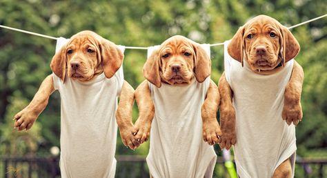 Hungarian Vizsla Pups