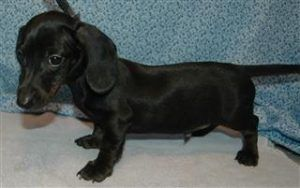 Short Hair Miniature Dachshund Puppies For Sale Black Dachshund