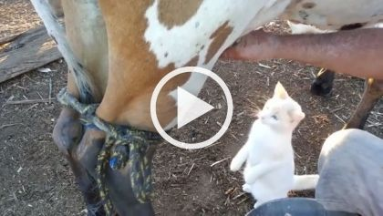 Cat Drinks Fresh Milk Straight From Cow Cat Drinking Cows Funny Kittens Funny