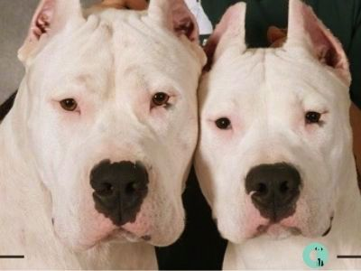 Onityan From Japan 日本国 Dogo Argentino Military Dogs Dogs Mastiff Breeds