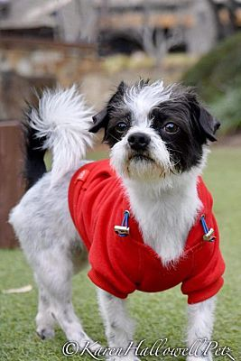 Mckinney Tx Shih Tzu Meet Elmer A Pet For Adoption Shih Tzu Pet Adoption Pets