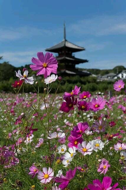 Cosmos Cosmos Flowers Beautiful Landscapes Japan Travel