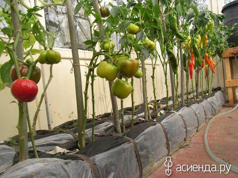 теплицы урожай на таллинском
