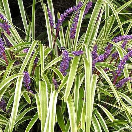 Monkey Grass Seeds This Ornamental Grass Has Evergreen Foliage And Violet Blue Flower Spikes During The Summer Mon In 2020 Lily Turf Variegated Liriope Monkey Grass