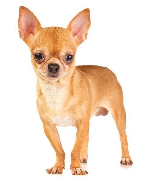 Why Chihuahuas Shake And Shiver Chihuahua Dogs Cute Chihuahua