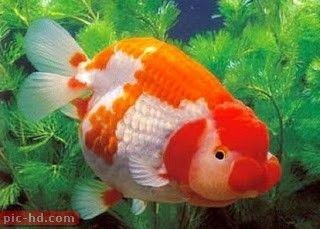 صور اسماك الزينة انواع اسماك الزينة ومعلومات عنها Goldfish Oranda Goldfish Ryukin Goldfish