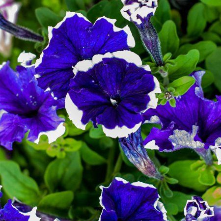 Petunia Hulahoop Series Flower Garden Seed 1000 Pelleted Seeds Blue Blooms Annual Flowers Single Grandiflora Hula Hoop Petunias Walmart Com Flower Seeds Annual Flowers Flower Garden
