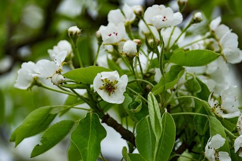 Free Image on Pixabay - Flower, Pear Tree, Spring, Garden