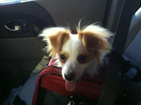 Black Jack Russell Long Hair Chihuahua Mix Long Hair Jack