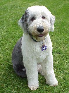 old english sheepdog haircuts , Google Search