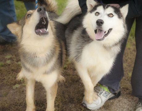 Dog Finder Adopt A Dog Or Cat Near You Husky Siberian Husky